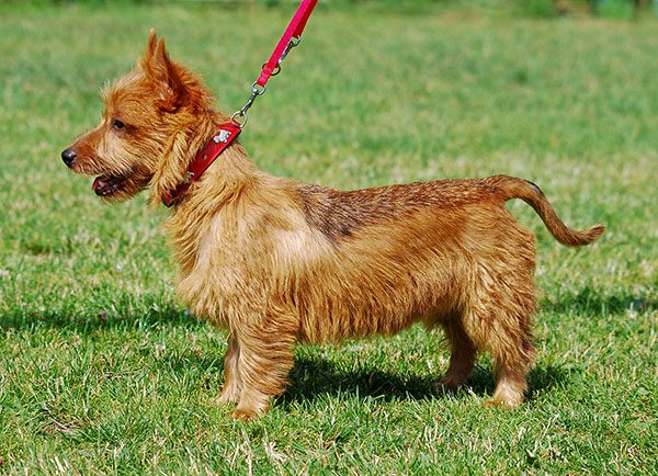 Australian_Terrier